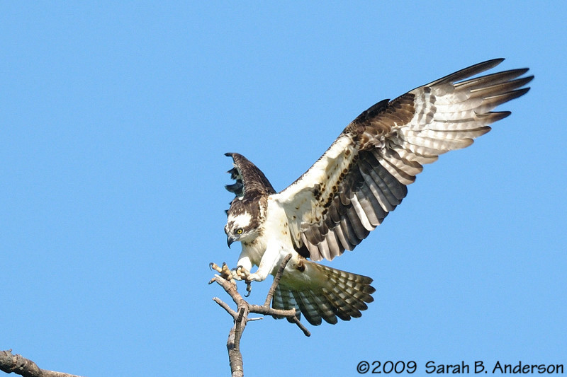 Osprey coming in for a landing<br /> Occoquan National Wildlife Refuge, Virginia<br /> May 2009