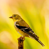 Migrating Goldfinch Resting