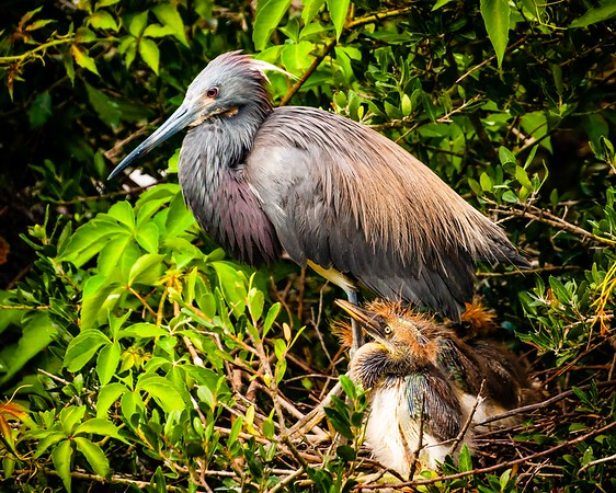 Tricolored Heron with Chicks