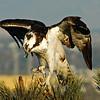 Coronado Bay Osprey