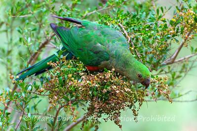 King Parrot feeding, Howqua River, Victoria