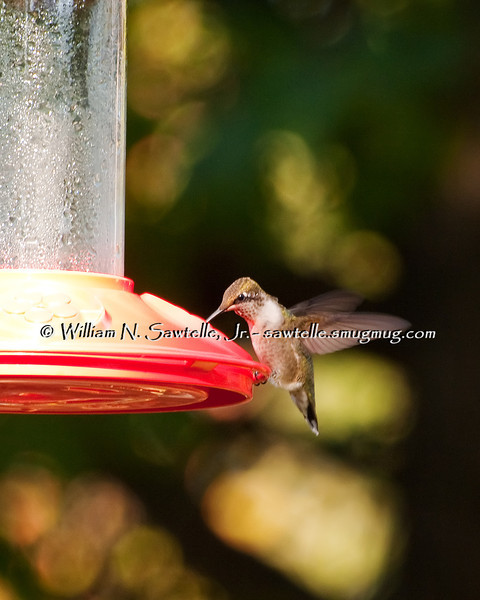 Ruby Throat Hummingbird - a young male