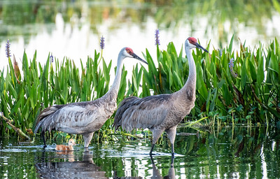 """Sandhill cranes with their tiny """"colt"""""""