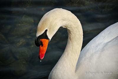 Trumpeter Swan at Lakefront Promenade Marina,Mississauga,Ontario