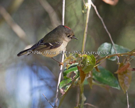 Lookie!  I've got part of his face and part of his crown!  (Ruby-crowned Kinglet)