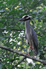 Yellow-crowned Night Heron<br /> Montgomery County, Maryland