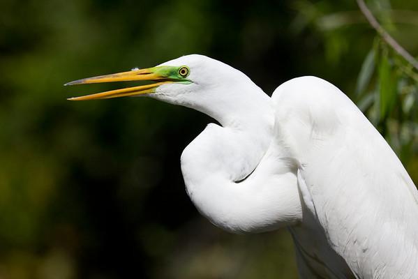 Great Egret - Gatorland, Orlando, Florida