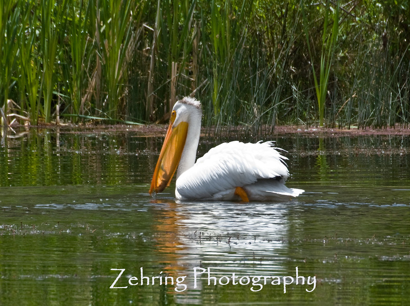 Having frog for lunch, this American white pelican shows the silhouette of a bullfrog in it's bill just before swallowing.