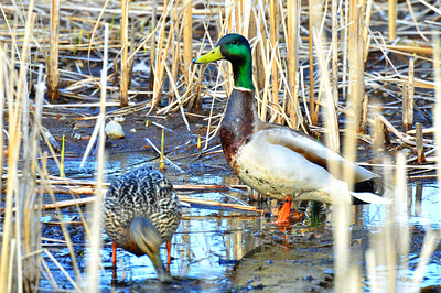 Pair of Mallards Shot at Friendship Gardens in Thunder Bay, Ontario, Canada