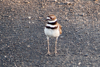 Killdeer 2011-1