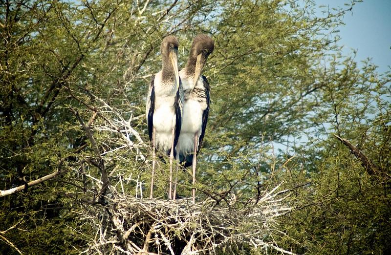 Painted Stork (Mycteria leucocephala)<br /> Bharatpur, India<br /> IUCN Status: Near Threatened (trend: decreasing)