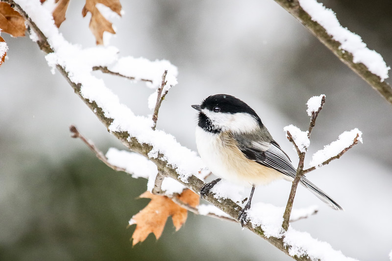 The Chickadees of Winter  1