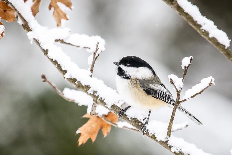 The Chickadees of Winter  1