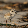 Piping Plover Chick  This photograph is protected by the U.S. Copyright Laws and shall not to be downloaded or reproduced by any means without the formal written permission of Bob Arkow Photography.