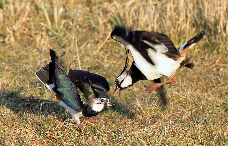 Two Lapwings fighting.