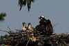 Osprey w/ chicks<br /> Occoquan NWR, Virginia