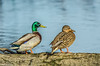 Mallard pair at Colusa 2-2015 #2