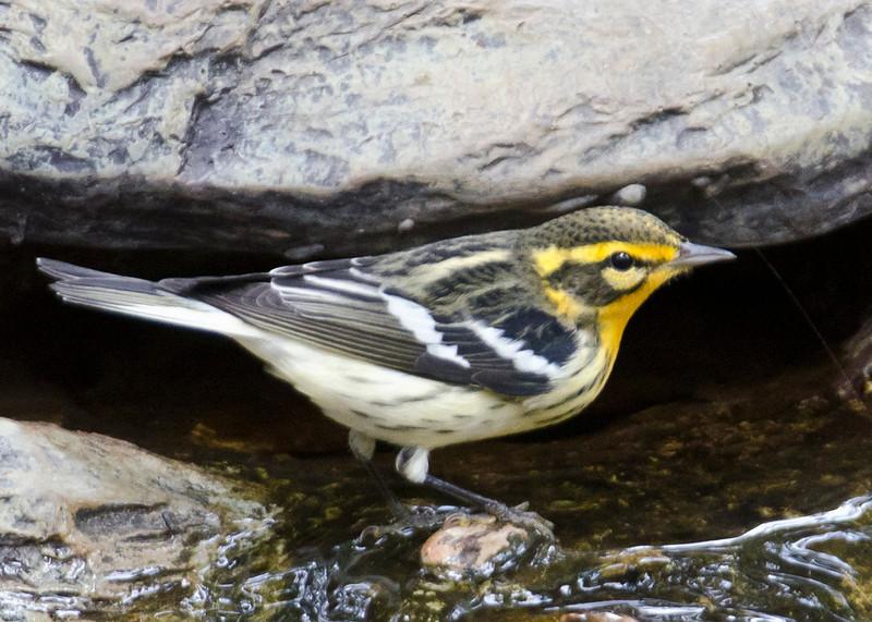 Young male Blackburnian Warbler