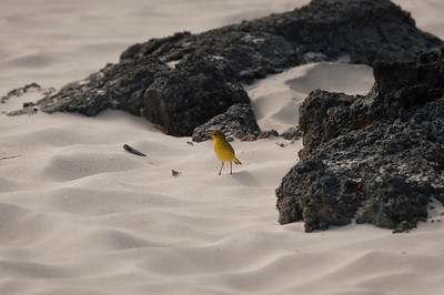 Little yellow bird on the beach