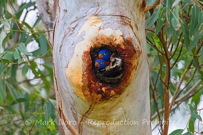 Rainbow Lorikeets, not yet fledged, Boat Harbour, NSW