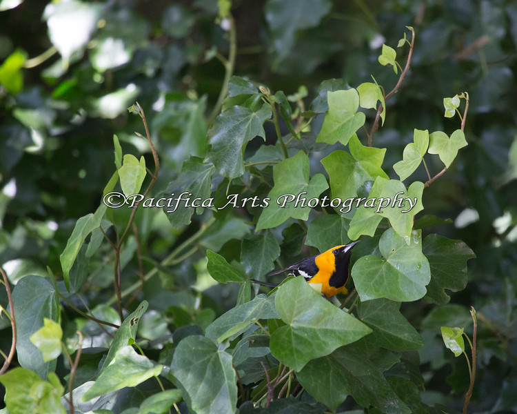 Hooded Oriole (Icterus cucullatus) looking under the leaves for bugs.