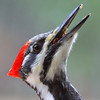 """ Female Pileated Woodpecker  2  (Dryocopus pileatus) """