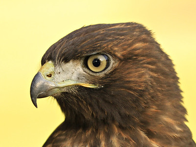 Portrait ~  Recently fledged Red-tailed Hawk (dark morph)