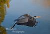 Great Blue Heron-Ardea herodias-taking off at Lake El Estero Monterey California