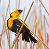 Yellow-headed Blackbird, Malheur National Wildlife Refuge, Oregon