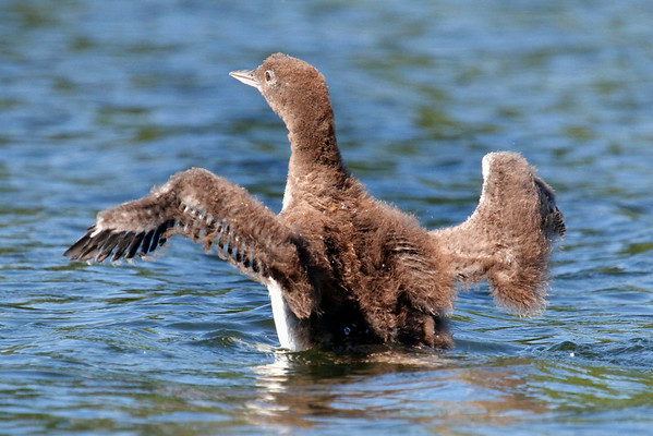 """Loon Chick  """"Learning to Fly"""""""
