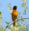 Oriole - Magee Marsh - May 2005