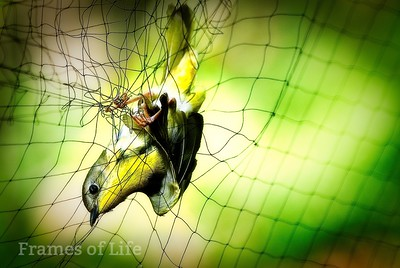 Bird in The Net