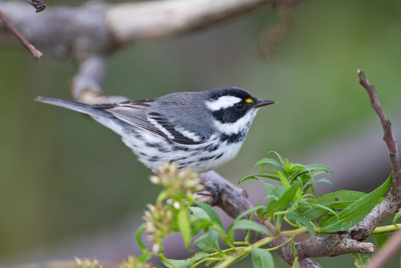 Black throat Gray Warbler - Magee Marsh - September 25, 2011<br /> This was a treat getting to see this one.