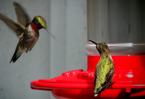 A female ruby-throated hummingbird (Archilochus colubris) perched on a feeder as she watches a male prepare to land (20120710_01500)