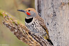 Golden-shafted Flicker #6-2