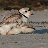 Piping Plover and Chick Nickerson Beach, Long Island, NY  This photograph is protected by the U.S. Copyright Laws and shall not to be downloaded or reproduced by any means without the formal written permission of Bob Arkow Photography.