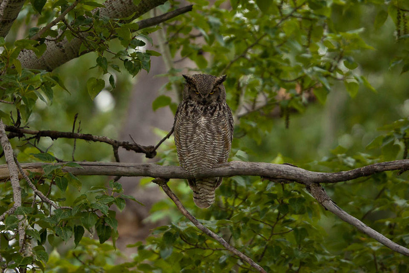 Great Horned Owl, McKay Reservoir, Oregon