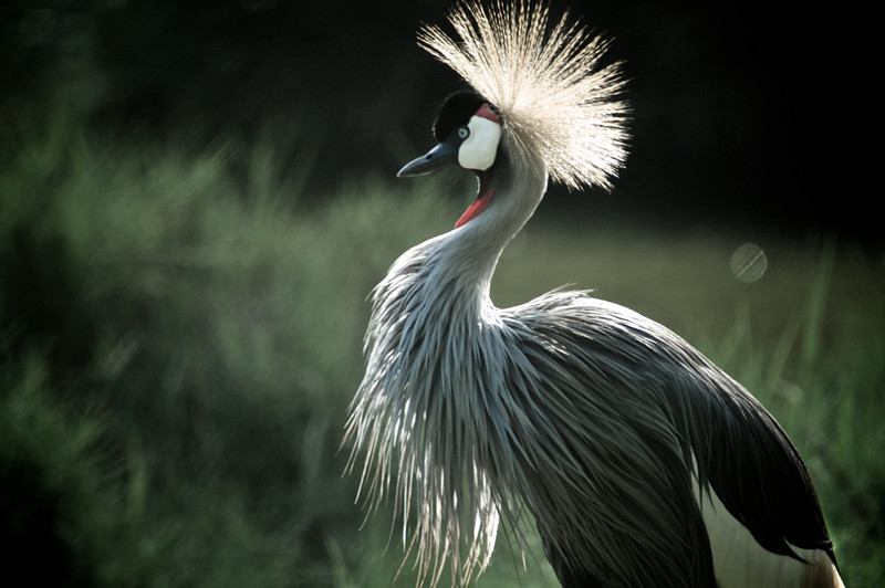 Grey Crowned Crane (Balearica regulorum)<br /> Near Mombasa, Kenya<br /> IUCN Status: Vulnerable