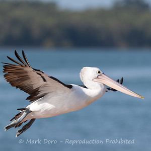 Australian Pelican gliding into land