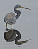 Tri-colored Heron, Merritt Island National Wildlife Refuge, Florida