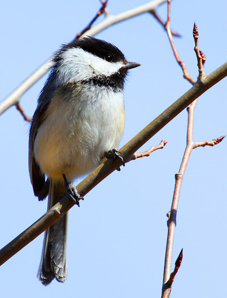 """Mr. Chickadee"""