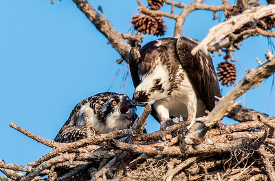 Osprey placing a piece of fish into her chick's mouth