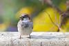 American tree sparrow<br /> Spizella arborea