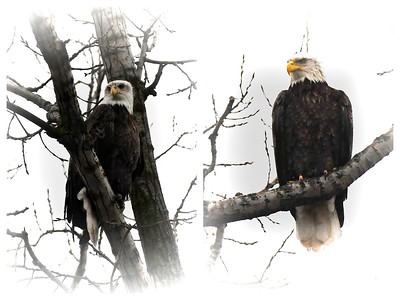 Bald Eagles in our backyard
