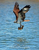 Osprey with catfish in it's talons