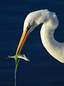 Sushi Roll ~ Great White Egret