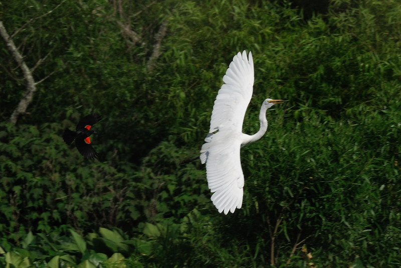 black bird    chasing white bird<br /> (Red-winged)          (Great Egret)<br /> Hughes Hollow<br /> Montgomery County, Maryland