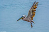Brown Pelican flying over Bodega Bay 6-4-14 #9