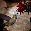 Hummingbird with Red Bee Balm