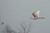 Snowy Egret, Prime Hook NWR, 8-1-14